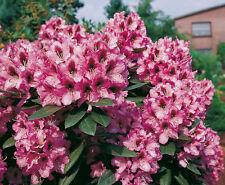 Rhododendron großblumige Hybride Kokardia 30-40cm Frühlingsblüher