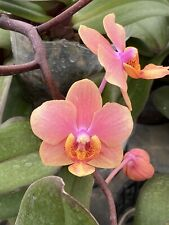 (Vdnps. Jiaho's Orange x Phal. schilleriana) 'Orange Sorbet'...FLOWERING SIZE!!!