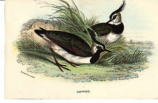 Antico Chromo-LITHO Bird Print-Pavoncelle-LLOYD 'S Natural History (c1890)