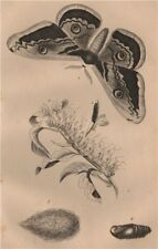 LEPIDOPTERA. Saturnie du Poirier (Giant Peacock Moth) 1834 old antique print