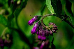 30 Samen Saatgut Echter Beinwell  (Symphytum officinale) Heilpflanze seeds