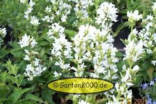 Knäulenglockenblume, Campanula glomerata Alba, im Topf