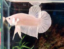 Thai Import Platinum Male HMPK Halfmoon Plakat Betta Fish *READ ITEM DESCRIPTION
