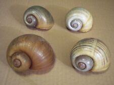5 SMALL APPLE SNAIL SHELLS,/  READ LISTING / HERMIT CRAB SHELL