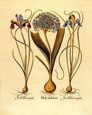 Iris 22x30 Hand Numbered Ltd. Edition Botanical Garden Flower Art Print