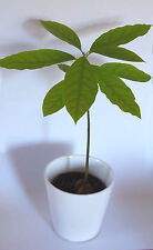 Avocado baum Pflanze Kübelpflanze