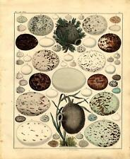 1843 OKEN HC LITHOGRAPH FOLIO nests & eggs 03