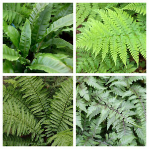 4 x Fern Plant Mix - Ready To Plant Outdoor Ferns 25-35cm In Height - Outdoor Fe