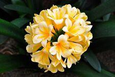 1 Clivia gialla SEME SEED KORN yellow clivia rare ornamental plant