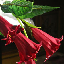 100Pcs Mix Color Datura Flower Seeds Dwarf Brugmansia Angel's Trumpets Bonsai Se