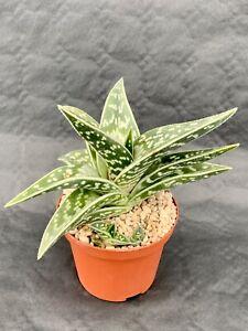 Aloe Variegata Pot ø 10,5