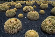 752037 Cactus Echinocactus Grusonii A4 Photo Texture Print