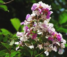 Thorelii Crape Myrtle - LAGERSTROEMIA THORELII - 20 Seeds - Trees