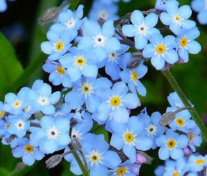 Myosotis 'My Oh My' woodland blue Alpine pond hardy rock wild dwarf plant clumps