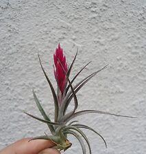 Tillandsia Aeranthos Mini Purple Air Plants