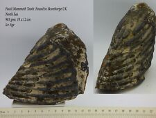 Ice Age Fossil Mammoth Tooth  981 gms 13 x 12 cm Scunthorpe UK
