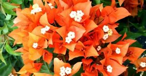 Well Rooted **FIRE OPAL** Live Bougainvillea starter/plug plant*