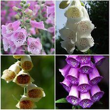 200 Samen Fingerhut bunte Mischung - Digitalis purpurea