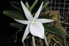 Bin-Angraecum didieri x sib.- Beautiful Madagascar Orchid Plant- Collectors item