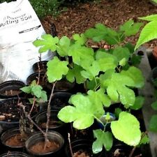 """1-BROWN TURKEY FIG TREE PLANT 3"""" TO 6"""" TALL Easy Grow SWEET EATING Ficus Carica"""