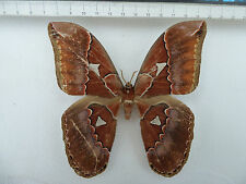 ROTHSCHILDIA Orizaba male, ex Costa Rica, n186