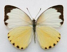 New listing Butterfly  x1 female Nepheronia thalassina thalassina (Ghana)  form