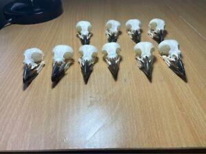 Eurasian Magpie Bird Skulls
