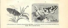 Stampa antica FARFALLE Larentia chenopodiata BUTTERFLIES 1891 Old antique print