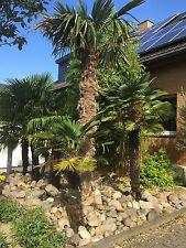 Trachycarpus fortunei 140cm-150cm. Frostharte Hanfpalme vom Profi,dem Palmenland