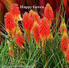 RED HOT POKER -  TORCH LILY - 150 seeds - Kniphofia uvaria - PERENNIAL FLOWER
