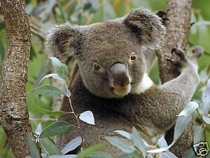 Koala Food Collection - 5 Trees - 1200+ Seeds Selected for Your Area