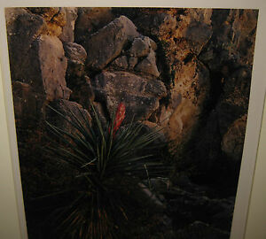 VINTAGE JIM CLINTON BONES LISTED NEW MEXICO NARROW LEAF YUCCA FLOWER PHOTOGRAPH