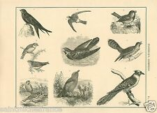 Moineau Martinet Hirondelle Coucou Sparrow Swallow Cuckoo GRAVURE OLD PRINT 1884