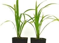 Robellini Palm Plant Pygmy Date Palm 4-6 Inch Tall 9-12 Month Old Rooted Potted