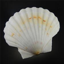 Natural Sea Shells Fan Shaped Big Scallop Nautical Seashells Decoration 9-12 cm
