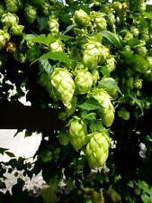 Semi di Luppolo Selvatico (Humulus lupulus) per birra / tisane - 40 semi