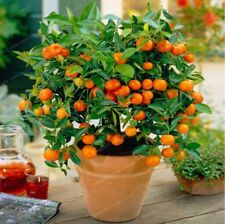 20 seeds Balcony Patio Potted Fruit Trees Planted Seed Kumquat  Orange Tangerine