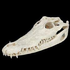 Véritable CRÂNE de CROCODILE 30 cm Squelette SKULL cabinet de curiosités