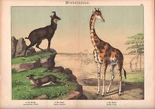 1886 Belle lithographie originale girafe gazelle chamois animaux gravure