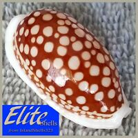 BIG ULTRA-GEM! Cypraea Cribraria #14 36.6mm GORGEOUS BEAUTY from the Philippines