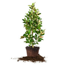 Little Gem Magnolia, Live Plant, Size: 2-3 ft.