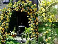 10 Yellow Climbing Rose Seeds - Garden Flower Gift Wedding Vine Arch Entrance
