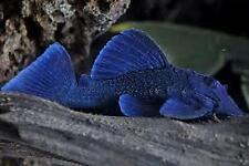 L239 BLUE FIN PANAQUE PLECO BARYANCISTRUS BEGGINI 8CM NO RESERVE
