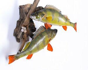 Taxidermy Fish Perch  Real Stuffed animal mount Perca fluviatilis