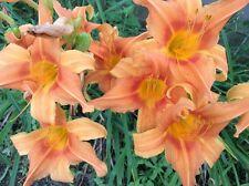 Orange Daylily Seeds - 50 seeds
