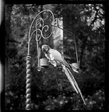 Perroquet sur perchoir - Ancien négatif photo an. 1940