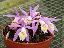 Pleione praecox, Near Bloom Size Orchid, Rare Species