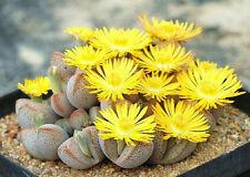 Dinteranthus Microspermus puberulus,  mesembs living stone cacti seed 20 SEEDS