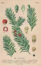 Taxus baccata - Gemeine Eibe LITHOGRAPHIE von 1910 Giftpflanzen
