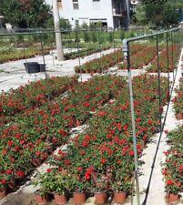 Rosa Sevillana vaso 17 (OFFERTA 5 piante)